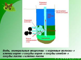 Вода, минеральные вещества корневые волоски клетки корня сосуды корня сосуды сте