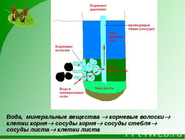оклейке последовательность восходящего пути воды в растении обстановка реках Хабаровского