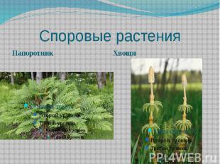 Споровые растения Папоротник