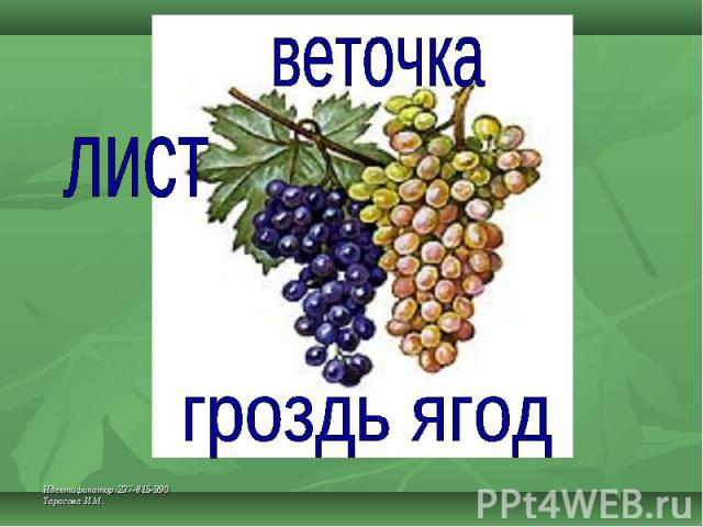 веточка лист гроздь ягод