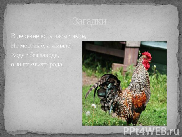 Загадки В деревне есть часы такие, Не мертвые, а живые,Ходят без завода, они птичьего рода.