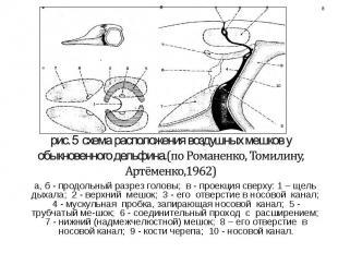 а, б - продольный разрез головы; в - проекция сверху: 1 – щель дыхала; 2 - верхн