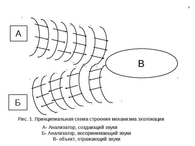 Рис. 1. Принципиальная схема строения механизма эхолокации А- Анализатор, создающий звуки Б- Анализатор, воспринимающий звуки В- объект, отражающий звуки