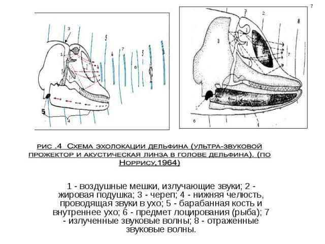 1 - воздушные мешки, излучающие звуки; 2 - жировая подушка; 3 - череп; 4 - нижняя челюсть, проводящая звуки в ухо; 5 - барабанная кость и внутреннее ухо; 6 - предмет лоцирования (рыба); 7 - излученные звуковые волны; 8 - отраженные звуковые волны.
