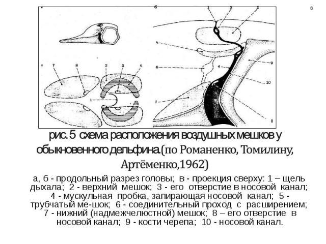 а, б - продольный разрез головы; в - проекция сверху: 1 – щель дыхала; 2 - верхний мешок; 3 - его отверстие в носовой канал; 4 - мускульная пробка, запирающая носовой канал; 5 - трубчатый мешок; 6 - соединительный проход с расширением; 7 - нижний (н…