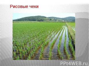 Рисовые чеки