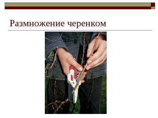 Размножение черенком