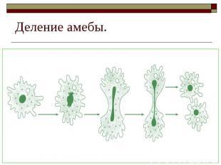 Деление амебы.
