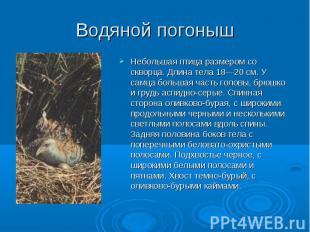Небольшая птица размером со скворца. Длина тела 18—20 см. У самца большая часть
