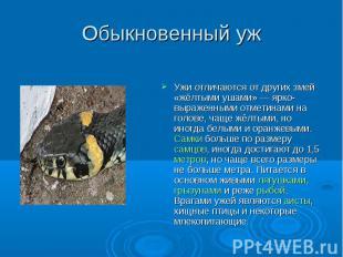 Обыкновенный уж Ужи отличаются от других змей «жёлтыми ушами» — ярко-выраженными