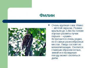 Очень крупная сова тёмно – жёлтой окраски. Размах крыльев до 1,6м.На голове хоро