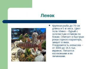 Крупная рыба до 70 см длины и 5 кг веса. Цвет тела тёмно – бурый с золотистым от