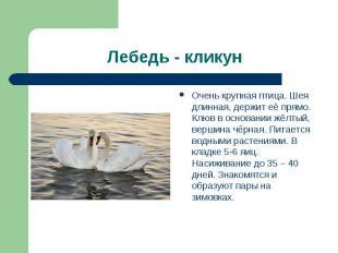 Лебедь - кликун Очень крупная птица. Шея длинная, держит её прямо. Клюв в основа