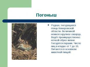 Погоныш Редкая, гнездящаяся птица Кемеровской области. Величиной немного крупнее