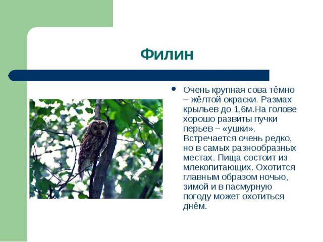 Очень крупная сова тёмно – жёлтой окраски. Размах крыльев до 1,6м.На голове хорошо развиты пучки перьев – «ушки». Встречается очень редко, но в самых разнообразных местах. Пища состоит из млекопитающих. Охотится главным образом ночью, зимой и в пасм…