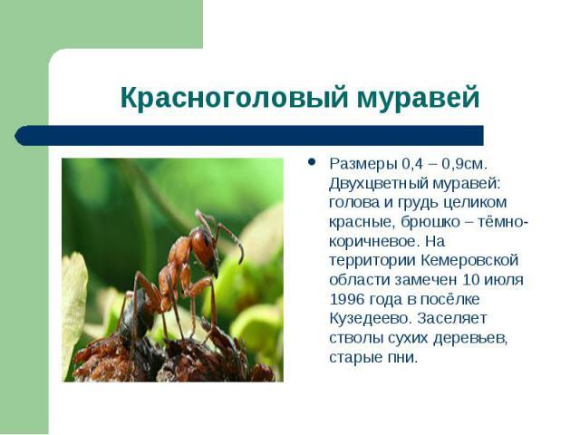 Красноголовый муравей Размеры 0,4 – 0,9см. Двухцветный муравей: голова и грудь целиком красные, брюшко – тёмно-коричневое. На территории Кемеровской области замечен 10 июля 1996 года в посёлке Кузедеево. Заселяет стволы сухих деревьев, старые пни.