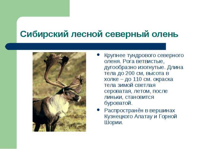 Сибирский лесной северный олень Крупнее тундрового северного оленя. Рога ветвистые, дугообразно изогнутые. Длина тела до 200 см, высота в холке – до 110 см. окраска тела зимой светлая сероватая, летом, после линьки, становится буроватой.Распространё…