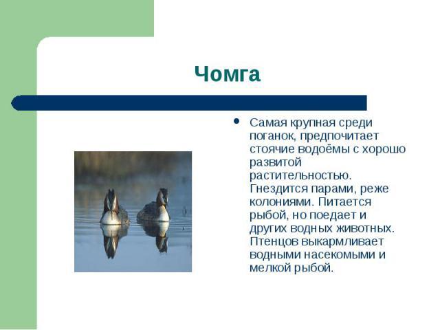 Чомга Самая крупная среди поганок, предпочитает стоячие водоёмы с хорошо развитой растительностью. Гнездится парами, реже колониями. Питается рыбой, но поедает и других водных животных. Птенцов выкармливает водными насекомыми и мелкой рыбой.
