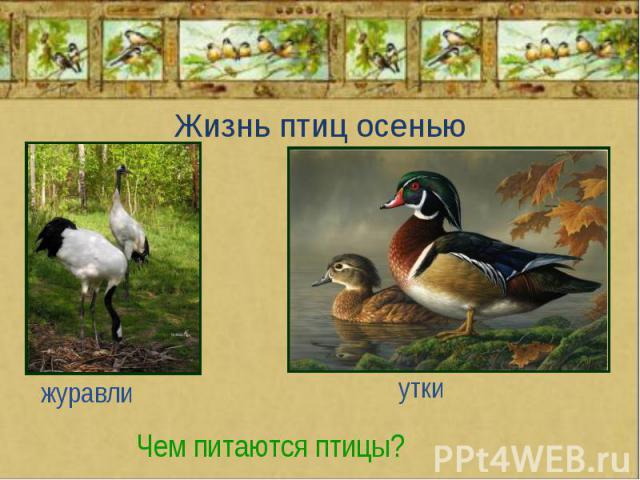 Жизнь птиц осенью журавли утки Чем питаются птицы?