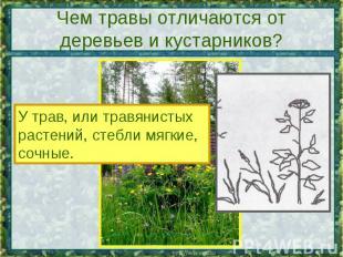 Чем травы отличаются от деревьев и кустарников? У трав, или травянистых растений