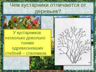 Чем кустарники отличаются от деревьев? У кустарников несколько довольно тонких о