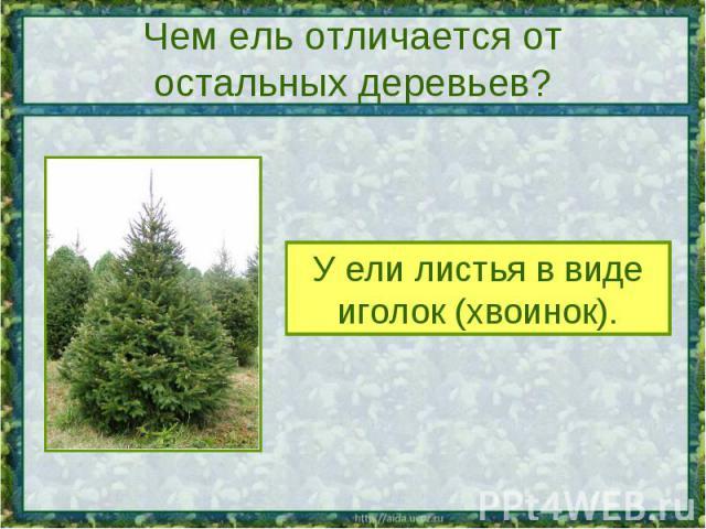 Чем ель отличается от остальных деревьев? У ели листья в видеиголок (хвоинок).