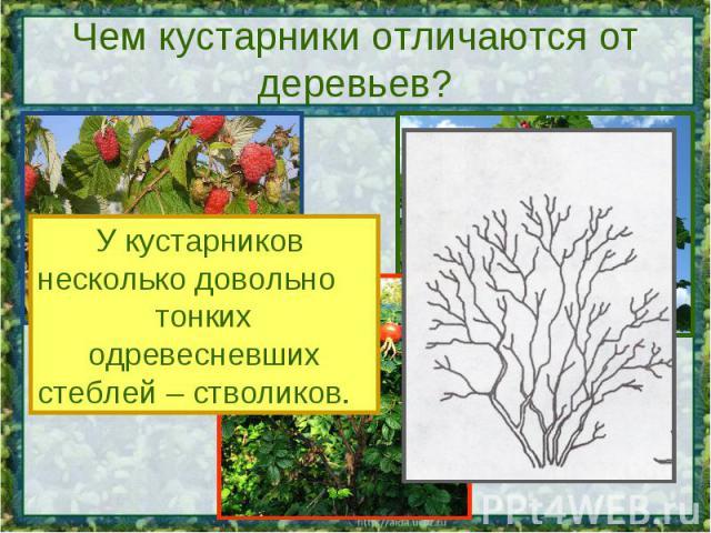 Чем кустарники отличаются от деревьев? У кустарников несколько довольно тонких одревесневшихстеблей – стволиков.