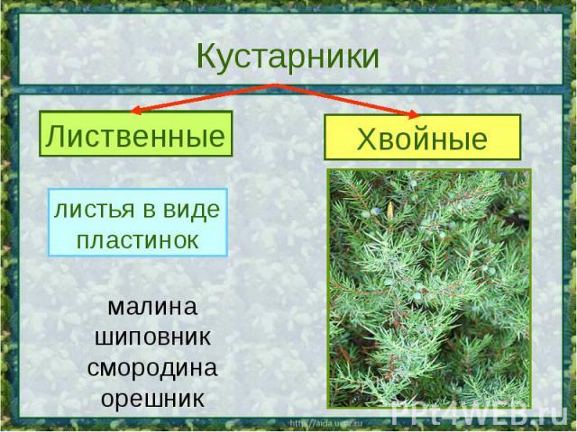 Кустарники Лиственные листья в видепластинок малинашиповниксмородинаорешник Хвойные