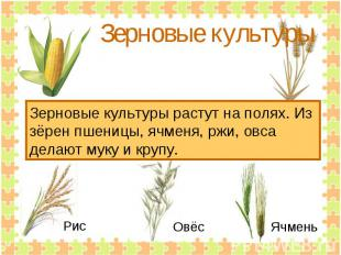 Зерновые культуры Зерновые культуры растут на полях. Из зёрен пшеницы, ячменя, р