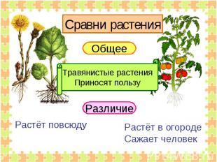 Сравни растения Общее Травянистые растенияПриносят пользу Растёт повсюду Растёт