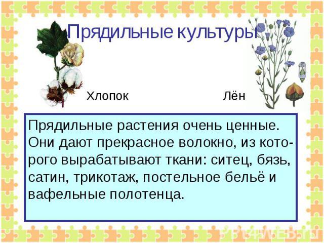 Прядильные культуры Прядильные растения очень ценные. Они дают прекрасное волокно, из кото-рого вырабатывают ткани: ситец, бязь,сатин, трикотаж, постельное бельё ивафельные полотенца.