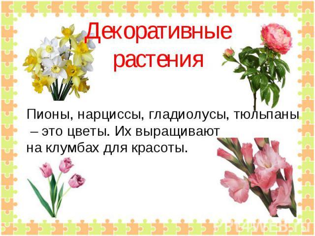 Декоративныерастения Пионы, нарциссы, гладиолусы, тюльпаны – это цветы. Их выращивают на клумбах для красоты.