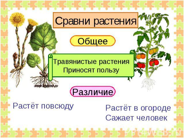 Сравни растения Общее Травянистые растенияПриносят пользу Растёт повсюду Растёт в огородеСажает человек