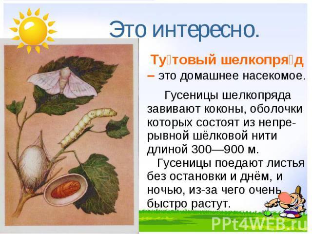 Это интересно. Тутовый шелкопряд – это домашнее насекомое.Гусеницы шелкопряда завивают коконы, оболочки которых состоят из непре-рывной шёлковой нити длиной 300—900 м. Гусеницы поедают листья без остановки и днём, и ночью, из-за чего очень быстро растут.