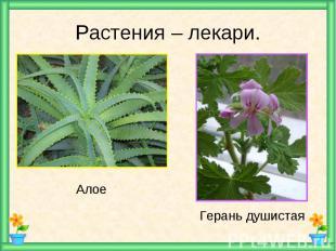 Растения – лекари. Алое Герань душистая