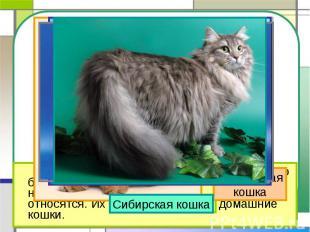 Сибирская кошка Персидскаякошка На свете около 60 разных пород кошек. Но большин