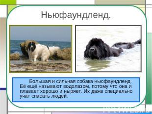 Ньюфаундленд.Большая и сильная собака ньюфаундленд. Её ещё называют водолазом, п