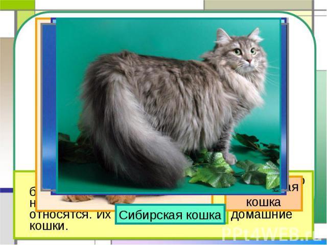 Сибирская кошка Персидскаякошка На свете около 60 разных пород кошек. Но большинство тех кошек, которые живут в наших квартирах, ни к какой породе не относятся. Их называют просто – домашние кошки.