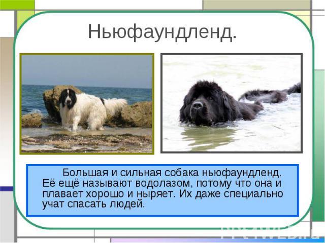 Ньюфаундленд.Большая и сильная собака ньюфаундленд. Её ещё называют водолазом, потому что она и плавает хорошо и ныряет. Их даже специально учат спасать людей.