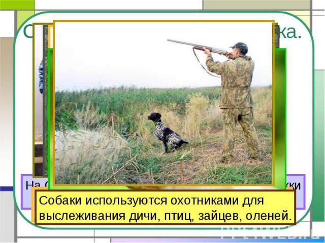 Собака – помощник человека. На Севере ездовые собаки перевозят упряжкис людьми и грузами. Собаки используются охотниками для выслеживания дичи, птиц, зайцев, оленей.