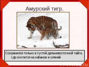 Амурский тигр.Сохранился только в густой дальневосточной тайге, где охотится на