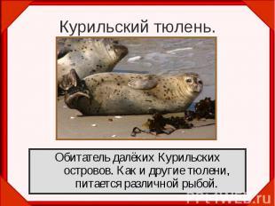 Курильский тюлень.Обитатель далёких Курильских островов. Как и другие тюлени, пи