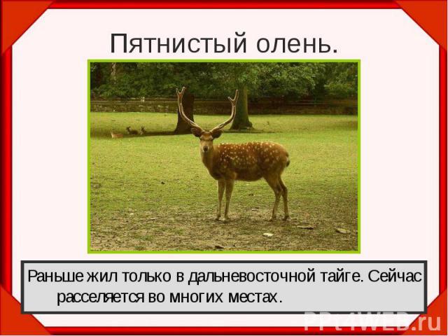 Пятнистый олень.Раньше жил только в дальневосточной тайге. Сейчас расселяется во многих местах.