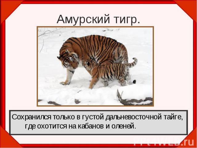 Амурский тигр.Сохранился только в густой дальневосточной тайге, где охотится на кабанов и оленей.