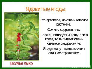 Ядовитые ягоды.Это красивое, но очень опасное растение. Сок его содержит яд. Есл
