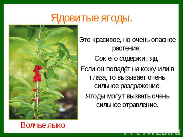 Ядовитые ягоды.Это красивое, но очень опасное растение. Сок его содержит яд. Если он попадёт на кожу или в глаза, то вызывает очень сильное раздражение.Ягоды могут вызвать очень сильное отравление.