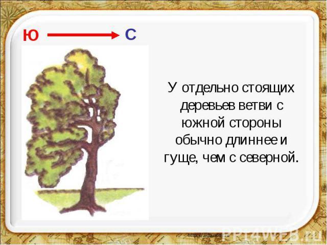 У отдельно стоящих деревьев ветви с южной стороны обычно длиннее и гуще, чем с северной.