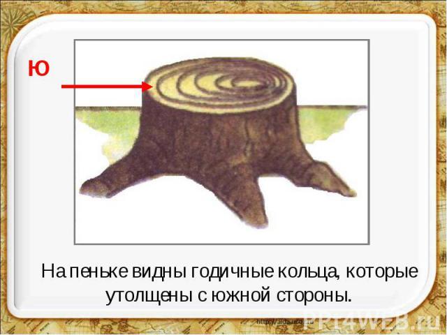 На пеньке видны годичные кольца, которые утолщены с южной стороны.