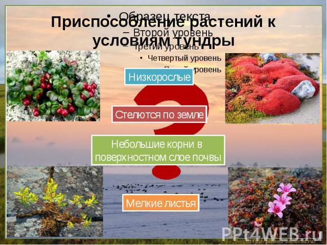Приспособление растений к условиям тундры