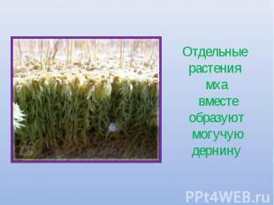 Отдельные растения мха вместе образуют могучую дернину